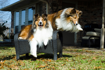 sheltie dog pet animal pup hambrick nicole karen carson jack